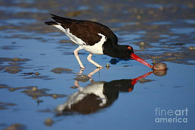 Poster featuring the photograph American Oystercatcher Mirror by John F Tsumas