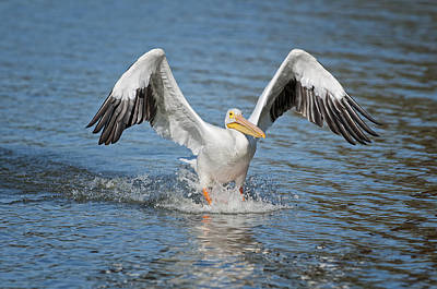 American Pelican Sliding In For A Home Run Poster