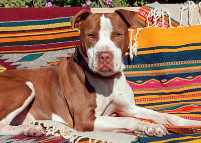 American Pit Bull Lying On Blankets (mr Poster