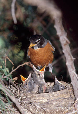 American Robin At Nest Poster by William H. Mullins