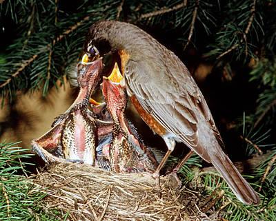 American Robin Feeding Nestlings Poster