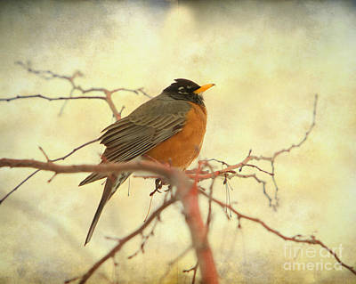 American Robin In The Springtime Poster