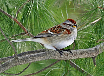 American Tree Sparrow Poster by Rodney Campbell