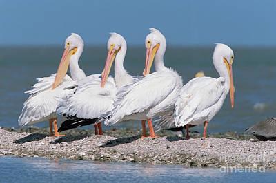 Four American White Pelicans  Poster by Yva Momatiuk and John Eastcott