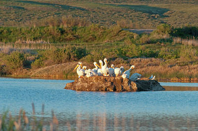 American White Pelicans On Small Island Poster by Howie Garber