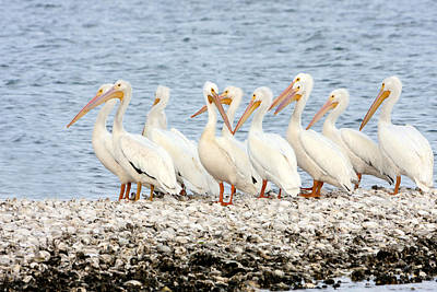 American White Pelicans Poster by Susan Candelario