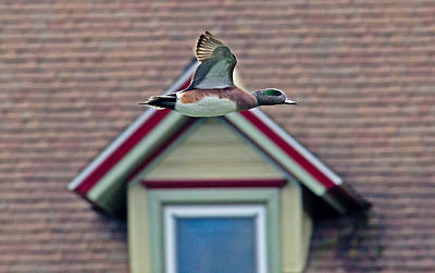 American Wigeon In Flight Poster