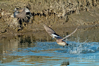 American Wigeon Pair Taking Poster by Anthony Mercieca