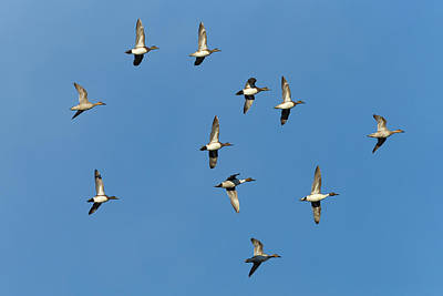 American Wigeons And Northern Pintails Poster