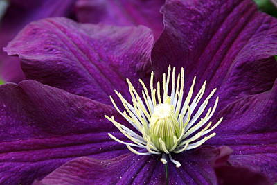 Amethyst Colored Clematis Poster