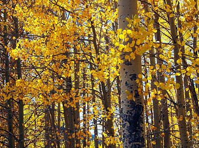 Among The Aspen Trees In Fall Poster by Amy McDaniel
