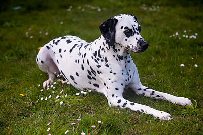 Among The Daisies. Kokkie. Dalmation Dog Poster by Jenny Rainbow