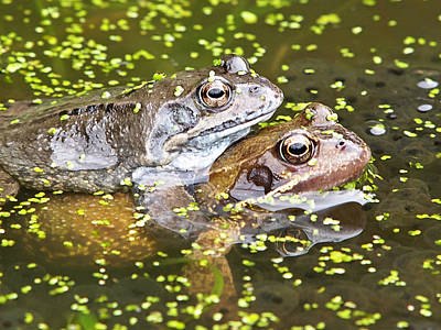 Amorous Frogs Poster by Gill Billington