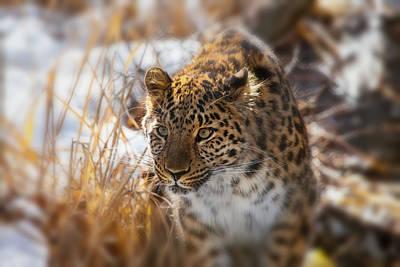 Amur Leopard Poster by Karol Livote