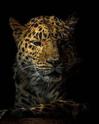 Amur Leopard Portrait Poster by Ernie Echols