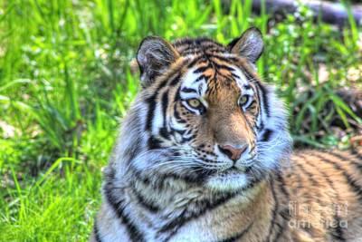 Amur Tiger 6 Poster