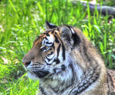 Amur Tiger 7 Poster by Jimmy Ostgard