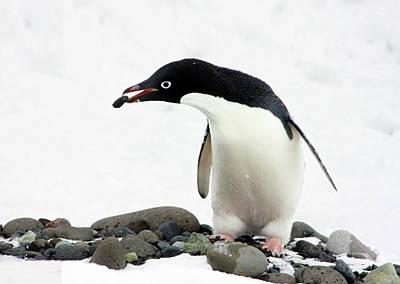An Adelie Penguin (pygoscelis Adeliae Poster