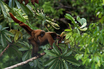 An Adult Woolly Monkey With Young Poster