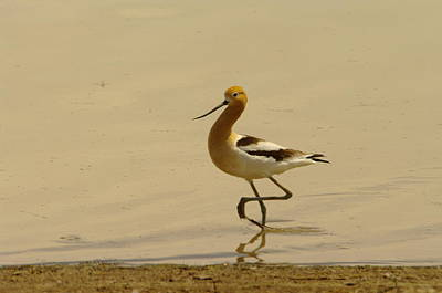 An Avocet Wading The Shore Poster