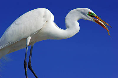 An Egret's Lunch Poster by Daniel Woodrum