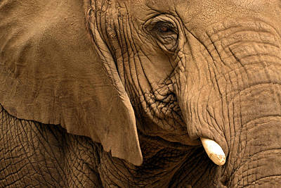 Poster featuring the photograph An Elephant's Eye by Nadalyn Larsen