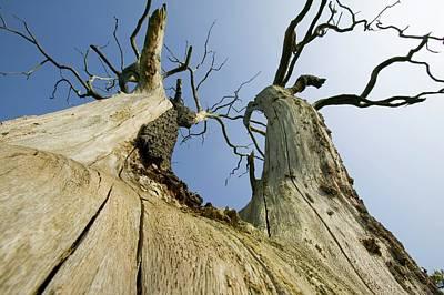 An Elm Tree Killed By Dutch Elm Disease Poster