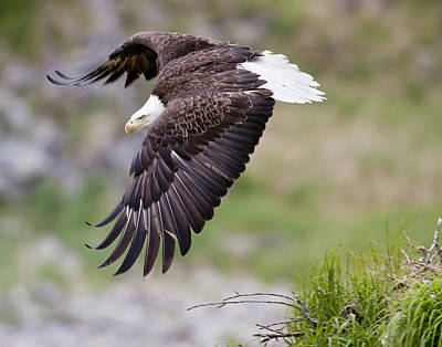 An Female Eagle Flys Protectively Over Poster