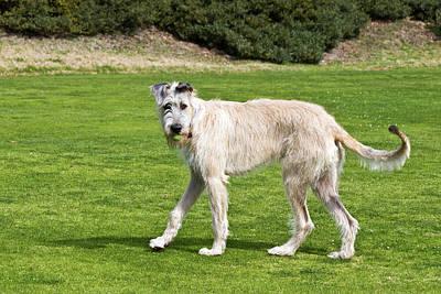 An Irish Wolfhound Puppy Playing Poster