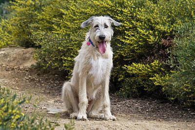 An Irish Wolfhound Puppy Sitting Poster
