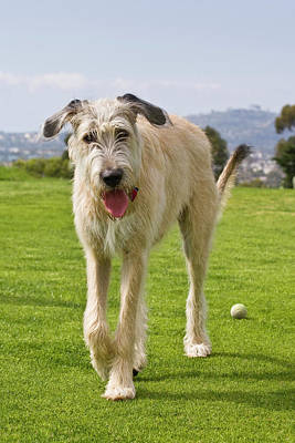 An Irish Wolfhound Puppy Walking Away Poster