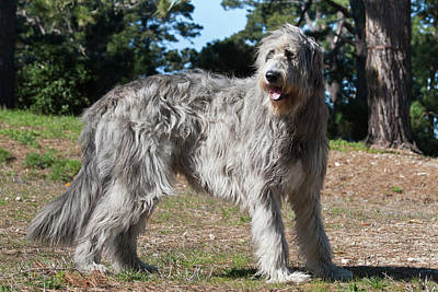 An Irish Wolfhound Standing In A Field Poster