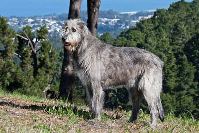 An Irish Wolfhound Standing On A Hill Poster