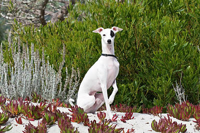 An Italian Greyhound Sitting Poster by Zandria Muench Beraldo