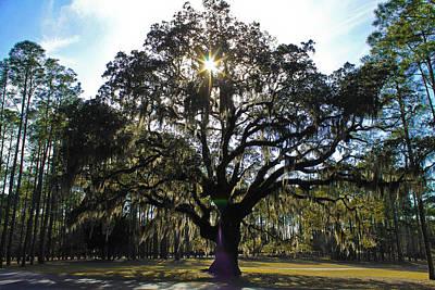 An Old Oak Tree Poster