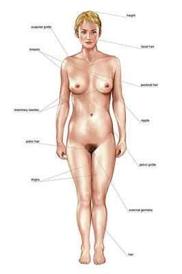 Anatomical Differences Between Sexes Poster by Asklepios Medical Atlas