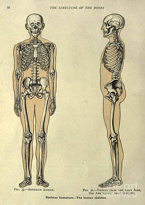 Anatomy Human Body Old Anatomical 11 Poster by Boon Mee