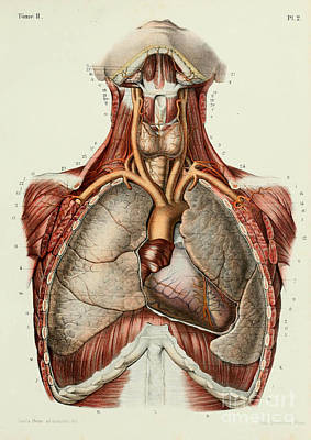 Anatomy Human Body Old Anatomical 30 Poster by Boon Mee