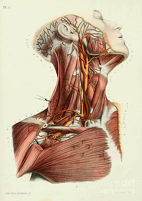 Anatomy Human Body Old Anatomical 32 Poster by Boon Mee