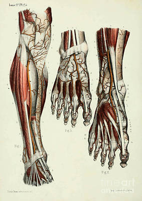 Anatomy Human Body Old Anatomical 41 Poster by Boon Mee