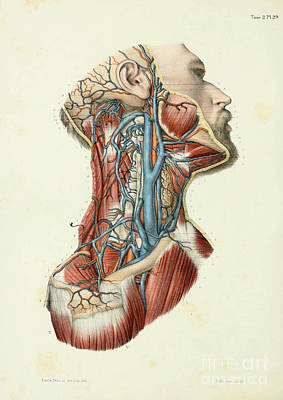 Anatomy Human Body Old Anatomical 45 Poster by Boon Mee