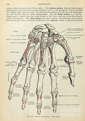 Anatomy Human Body Old Anatomical 77 Poster by Boon Mee