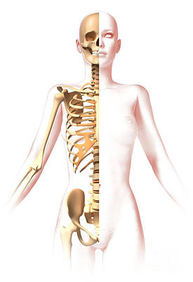 Anatomy Of Female Body With Skeleton Poster