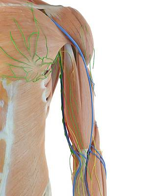 Anatomy Of Human Arm Poster by Sciepro