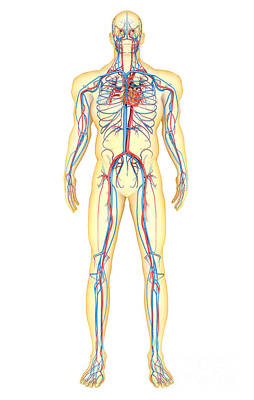 Anatomy Of Human Body And Circulatory Poster by Stocktrek Images