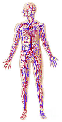 Anatomy Of Human Circulatory System Poster by Leonello Calvetti