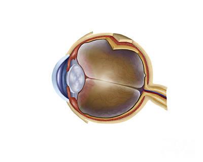 Anatomy Of Human Eye Poster