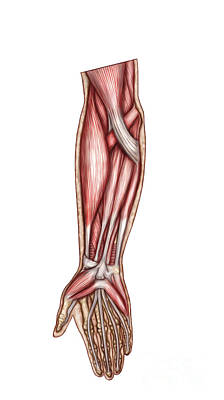 Anatomy Of Human Forearm Muscles Poster