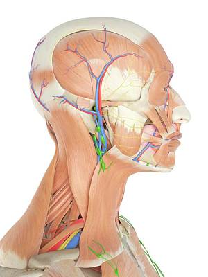 Anatomy Of Human Head Poster