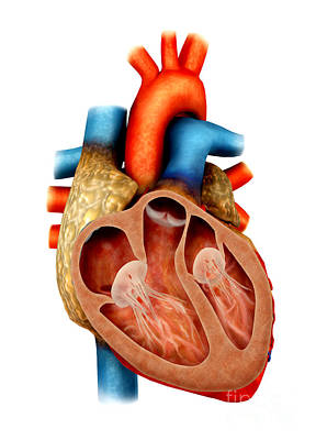 Anatomy Of Human Heart, Cross Section Poster by Stocktrek Images